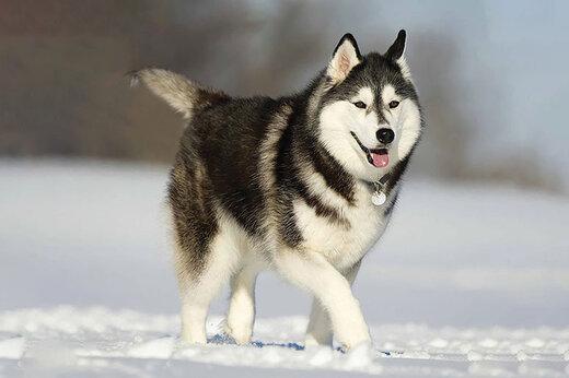 ببینید | واکنش جالب و خندهدار سگ هاسکی در اولین مواجهه با رعدوبرق