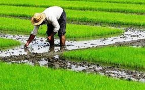 کشت برنج در قزوین آغاز شد