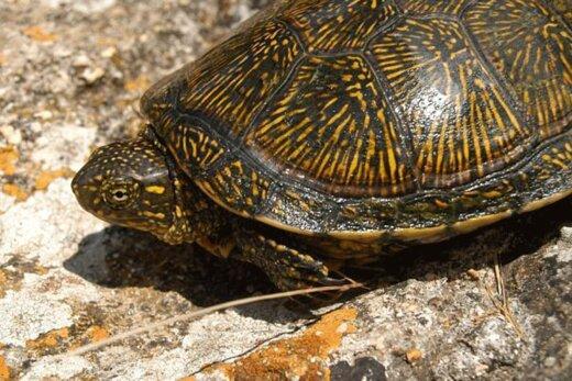 ببینید | لحظه تماشایی رهاسازی دو لاکپشت برکهای در مازندران