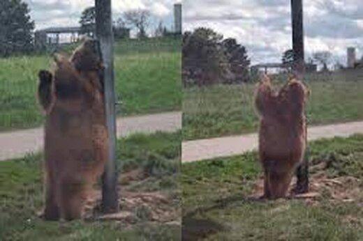 ببینید | حرکات جالب و خندهدار یک خرس با میله