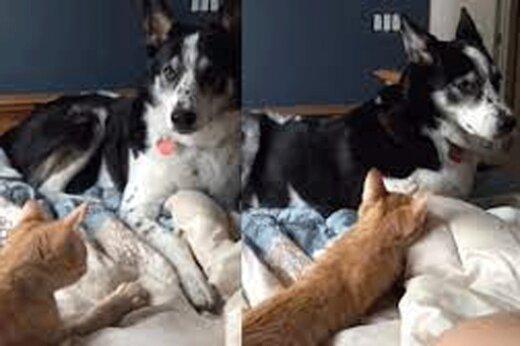 ببینید | زورگویی و قدرتنمایی عجیب یک گربه مقابل سگ صبور