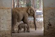 تصاویر | قابهایی تماشایی و احساسی از بچه فیل آسیایی متولد شده در باغ وحش ارم