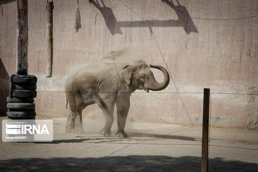 بچه فیل آسیایی متولدشده در باغ وحش ارم