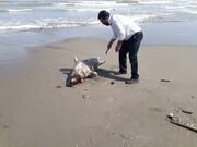 کشف لاشه یک حیوان کمیاب در ساحل خزر