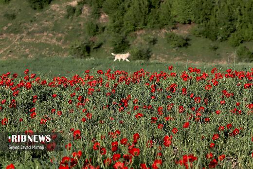دشت شقایقهای وحشی در استان گلستان