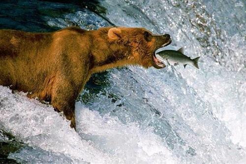 ببینید   شکار ماهی توسط خرس در چند ثانیه