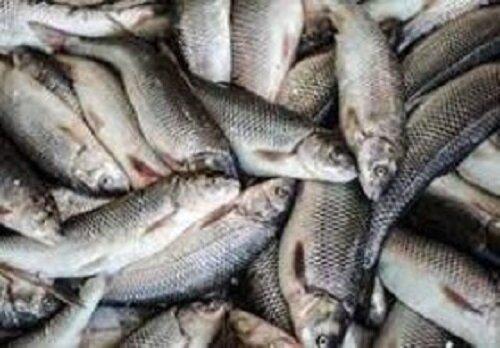 ۴۸ قطعه ماهی زردپر از متخلفین زیست محیطی در الیگودرز کشف و ضبط شد
