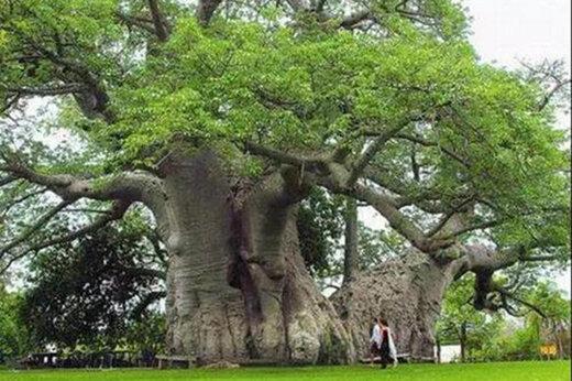 ببینید | شاهکار جدید چینیها/ آویزان شدن از درخت برای درمان بیماری