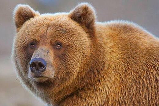 ببینید | شجاعت تحسینبرانگیز دختر جوان در مبارزه با خرس قهوهای