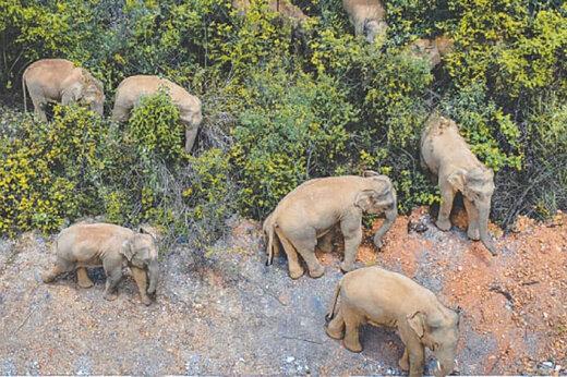 ببینید   راهپیمایی یک گله فیل در چین
