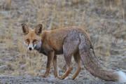 ببینید | لحظه تماشایی آب دادن دو دوستدار محیط زیست به یک روباه تشنه