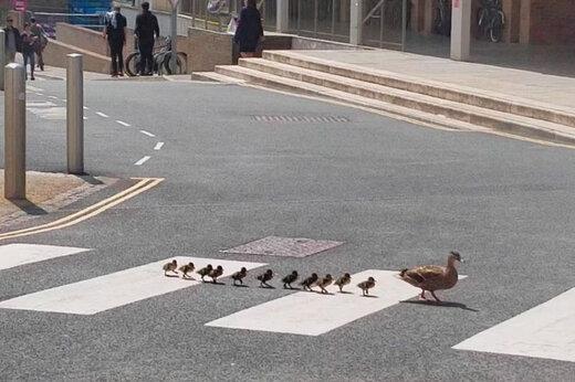 ببینید | اردک خوش شانسی که یک اتوبان را به توقف کامل درآورد
