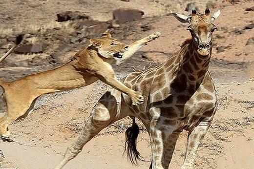 ببینید | لحظه منحصربفرد از شکار انفرادی یک زرافه توسط شیر قدرتمند