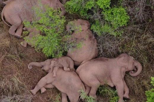 ببینید   استراحت گله فیلها پس از صدها کیلومتر  پیادهروی  و «خرابکاری» در جنوب غربی چین