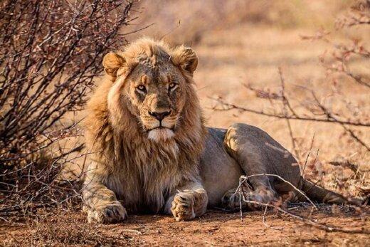 مستندی تکاندهنده درباره شکار شیرها در جشنواره مونت کارلو
