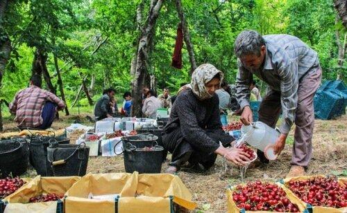 برداشت آلبالو از باغات قزوین آغاز شد 