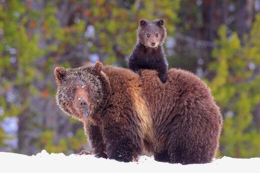 ببینید | بازیگوشی خندهدار یک بچه خرس در خانه مردم!