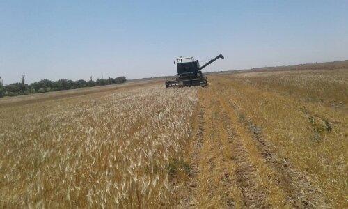 برداشت گندم از مزارع قزوین آغاز شد