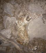 مرگ پلنگ ایران در آتشسوزی کوه حاتم