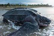 ببینید | لحظه هیجانانگیز نجات لاکپشت چرمی از باتلاق