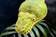 ببینید   ویدیویی منحصربفرد از لحظه خمیازه کشیدن یک مار