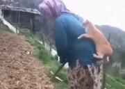 ببینید | علاقه شدید و جالب یک گربه به زن روستایی