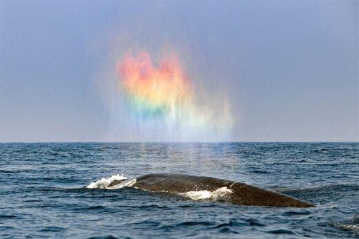 ببینید | درست کردن رنگینکمان توسط نهنگ وسط اقیانوس!