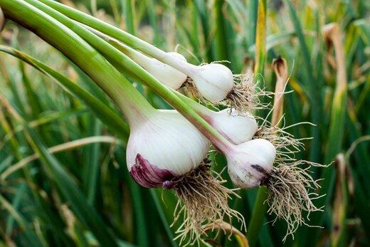معجزه حافظه با یک گیاه خوشمزه