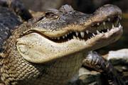 ببینید | صداهای مشکوک اطراف خانه و کشف یک تمساح درون کانال فاضلاب در فلوریدا