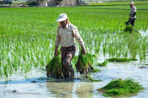 هر ایرانی سالانه چند کیلوگرم برنج مصرف می کند؟