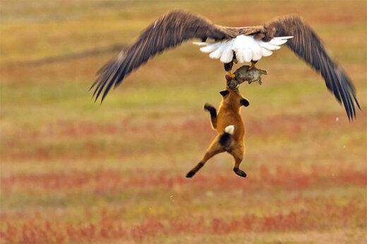 ببینید   پرواز دراماتیک عقاب همراه با لاشه یک روباه!