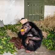 بچه شامپانزه ایرانی که در کنیا عاقبت به خیر شد