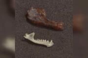 ببینید | کشف فسل خفاش خونآشام و 100 هزارساله در آرژانتین!