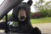 ببینید | درخواست عاجزانه یک خرس از ماشینهای گذری برای غذا دادن به فرزندش