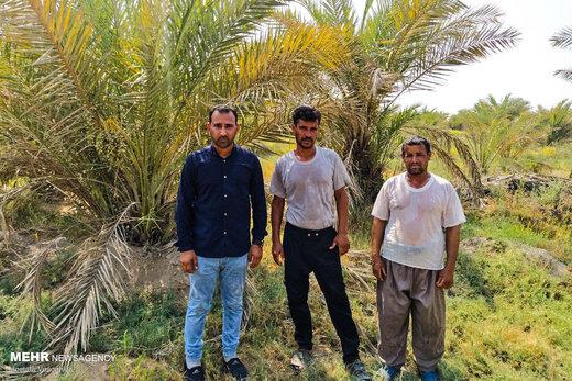 خشک شدن نخلستانهای شادگان خوزستان
