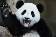 ببینید | آببازی خندهدار و بامزه خرسهای پاندا