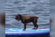 ببینید | راهکار جالب یک سگ برای تزریق هیجان به زندگی؛ موجسواری روزانه