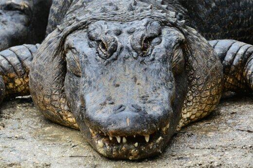 ببینید | لحظه هولناک و پراسترس به دام انداختن تمساح مزاحم در فلوریدا