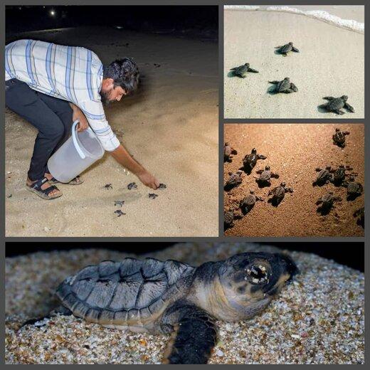 رهاسازی ۲۰۰۰ قطعه نوزاد لاکپشت پوزه عقابی از سواحل جزیره قشم به آب های خلیج فارس