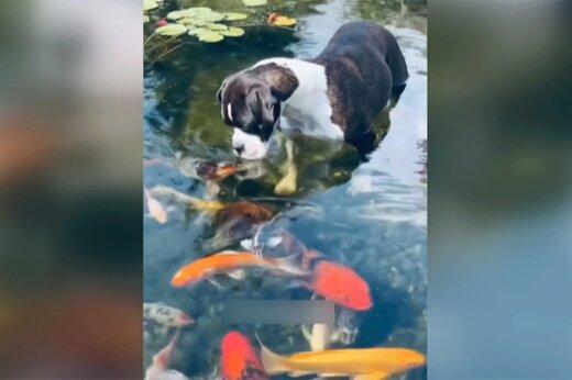 ببینید | قاب دیدنی از لحظه بوسیدن یک سگ توسط ماهیها!