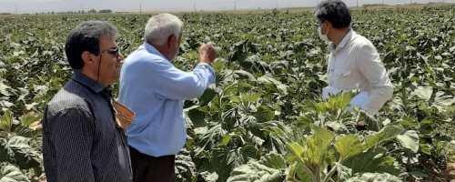 رشد ۴برابری کشت آفتابگردان آجیلی در اراضی کشاورزی قزوین