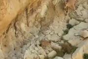 ببینید | لحظه دیدنی از شیرخوردن بزغالههای تازه متولد شده در خائیز