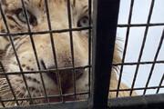 ببینید | کشته شدن وحشتناک یکی از کارگران باغ وحش بر اثر حمله ببر