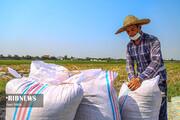 چرا برنج ایرانی اینقدر گران شده است؟