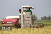 تصاویر | برداشت برنج از شالیزارهای مازندران