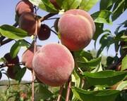 طرح باغداری در ۳۵۰ هکتار از اراضی شیب دار استان مرکزی اجرایی شد