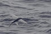 ببینید | لحظه شگفتانگیز پرواز یک ماهی پرنده!