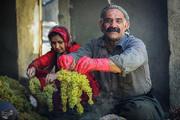 تصاویر   کشمشگیری به روش سنتی در کردستان