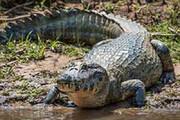 ببینید | حمله تمساحها به یک پهپاد