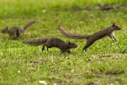 ببینید | تعقیب و گریز دیدنی و خندهدار دو سنجاب بازیگوش روی تنه درخت